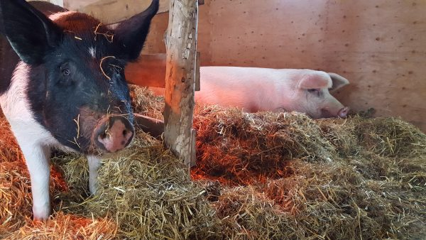 Rescued pigs, Lucky Lu and Strawberry at Graze in Peace Farm Animal Rescue and Learning Center